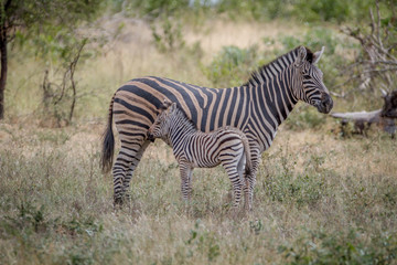 Mother and baby Zebra standing in the grass.