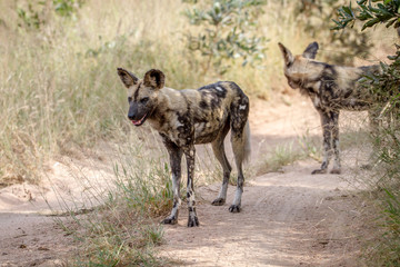 Two African wild dogs standing on the road.