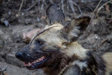 Close up of an African wild dog.