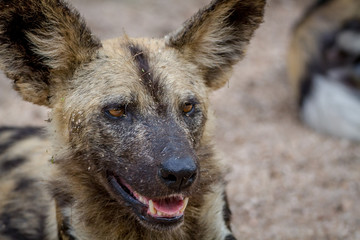 Close up of an African wild dog.