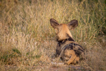 African wild dog starring from behind.