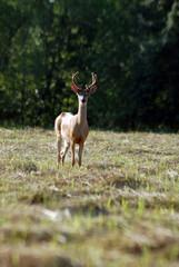 buck in feild