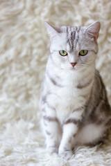 Shot of grey britain cat