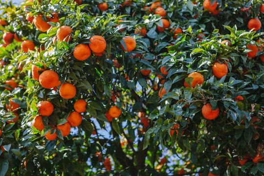 Orange tree on the Palatine Hill in Rome