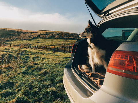 Border Collie sat looking out of the boot of an estate car.
