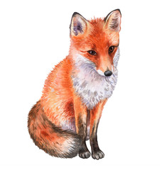 Fox isolated on white background. Watercolor. Illustration. Template. Picture.