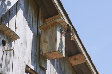 wooden birdhouse with its inhabitant starling