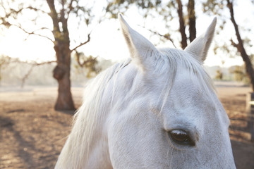 close up of a white horse - ears and eye