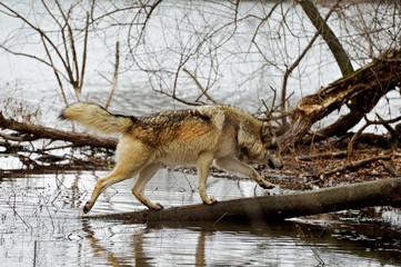 wolf on tree