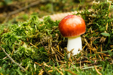 Nice fresh russula grows from moss with bright red cap