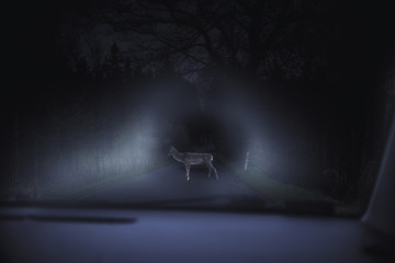 Close up on deer  on the highway,  night