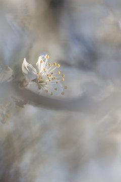 Creamy Spring blossom