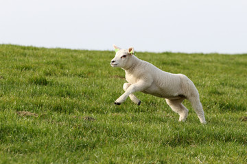 Young lamb in spring, jumping up from the grass