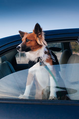 A cute dog sticking his head out of a car window