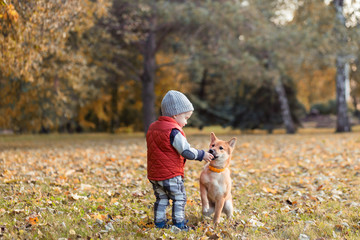 Little boy is feeding the shiba inu puppy in the walking at autumn park. Shibainu dog with baby playing together, best friends concept