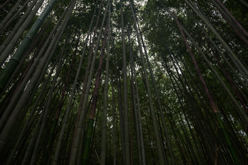 Bamboo forest inside the Arashiyama Bamboo Grove, Kyoto, Japan
