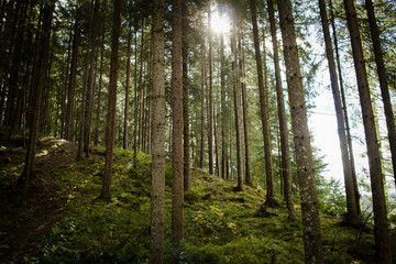 pictures of old forest in mountains,autumn or summer time