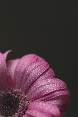 Pink daisy with water droplets