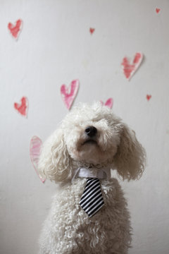Cute white poodle with tie in front of a Valentine's day background