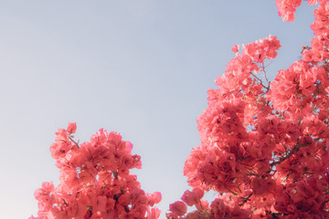 Bright pink  bougainvillea flowers against blue sky