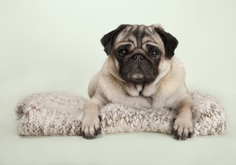 beautiful pug puppy dog lying down on fuzzy blanket, on pastel background
