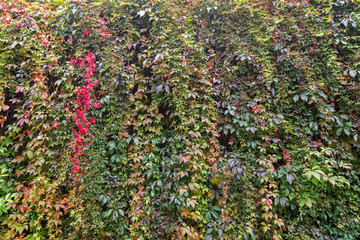 Wall full of vine plant (or climber or creeper) in the autumn.