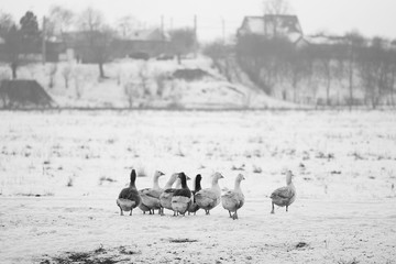 Countryside winter scene with geese