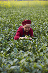 senior asian woman working in tea farm