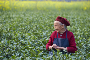 senior asian woman working in the tea farm