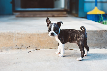 Bruce the Boston Terrier puppy