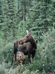 Moose with young animal