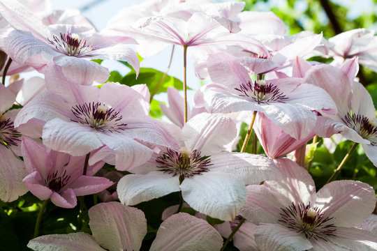 Beautiful clematis flowers with vegetation