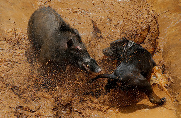 The Wider Image: Indonesian villages pit wild boars against dogs