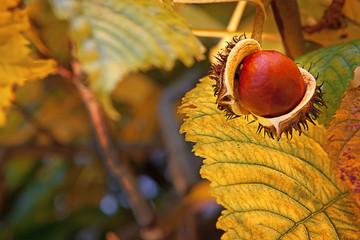The chestnut,  autumn