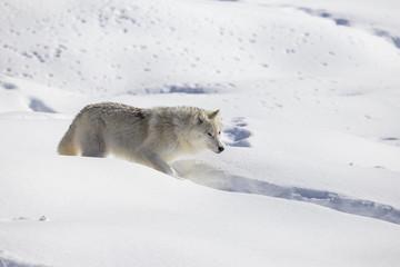Arctic wolf in winter