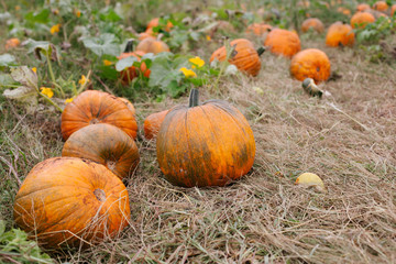 A stack of ripe pumpkins in the field