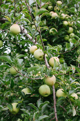 Ripe golden delicious apples on a tree ready to be picked