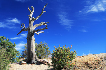 Weathered dead Tree, Windy Point on Mount Lemmon in Tucson, Arizona, USA in the Santa Catalina Mountains located in the Coronado National Forest with blue sky copy space.