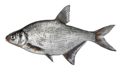 Fish isolated on white background. Common river bream. Side view