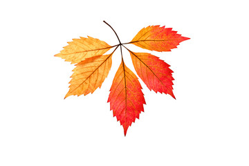 Autumn leaf on a white background. An isolated object.