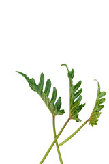 Flat lay Philodendron tropical green leaf isolated on white background,top view