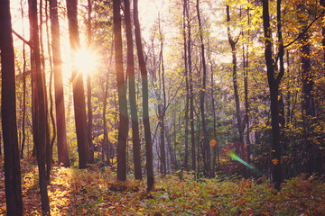 The sun between the trunks of trees in a bright autumn forest