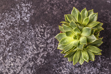 Green succulent plants  on dark background.