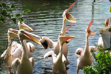 Herd of pelicans during meal