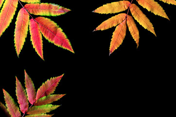 Autumn leaves on a black background, free space.