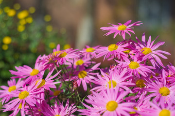 Colorful chrysanthemum as background