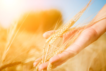 Image of human touching wheat spike