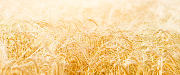 Photo of yellow wheat field