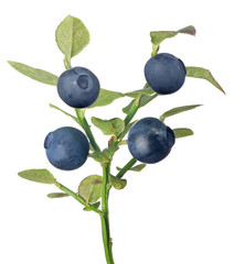 blueberry branch with four dark berries