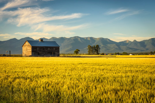Summer sunset with an old barn and a rye field in rural Montana